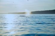 A humpback whale in Johnstone Strait, British Columbia.