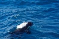 Killer_Whale_20150216