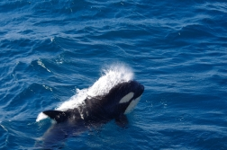 Killer_Whale_20150216_2